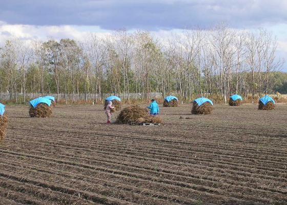 北海道での黒豆の収穫風景